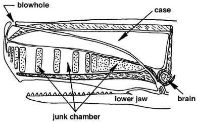 best of For blubber Sperm whales used