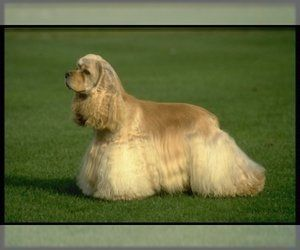 Sale for spaniel adult was and