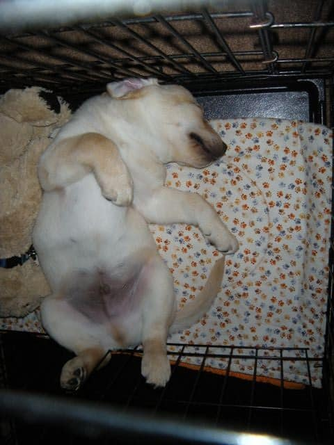 Crate in peeing puppy