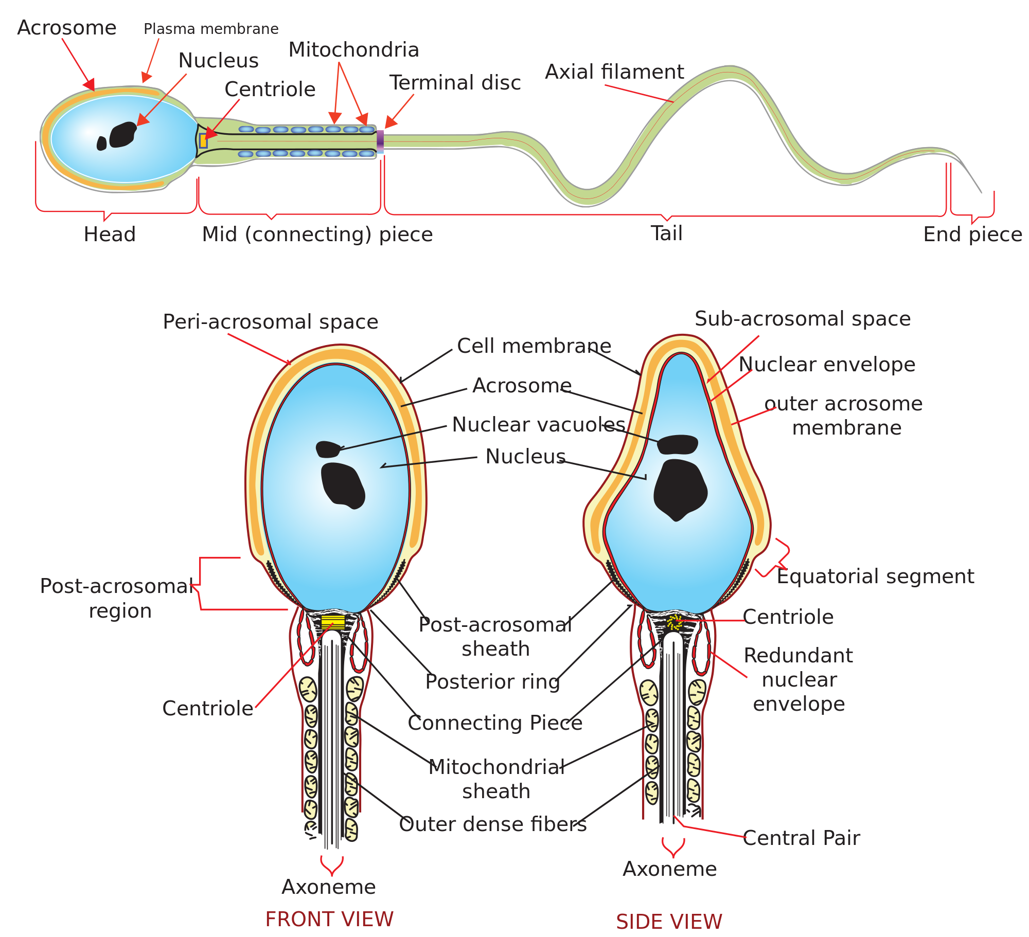 Sperm production cycle